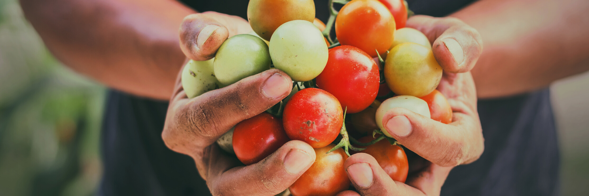 Person holding freshly picked red and green tomatoes - There will be important roles in agriculture - The Bounceback of Recruitment after COVID 19